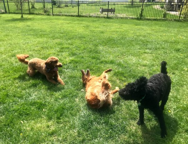 A lawn being used by playing dogs