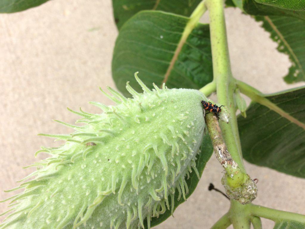 Ladybug larva on milkweed
