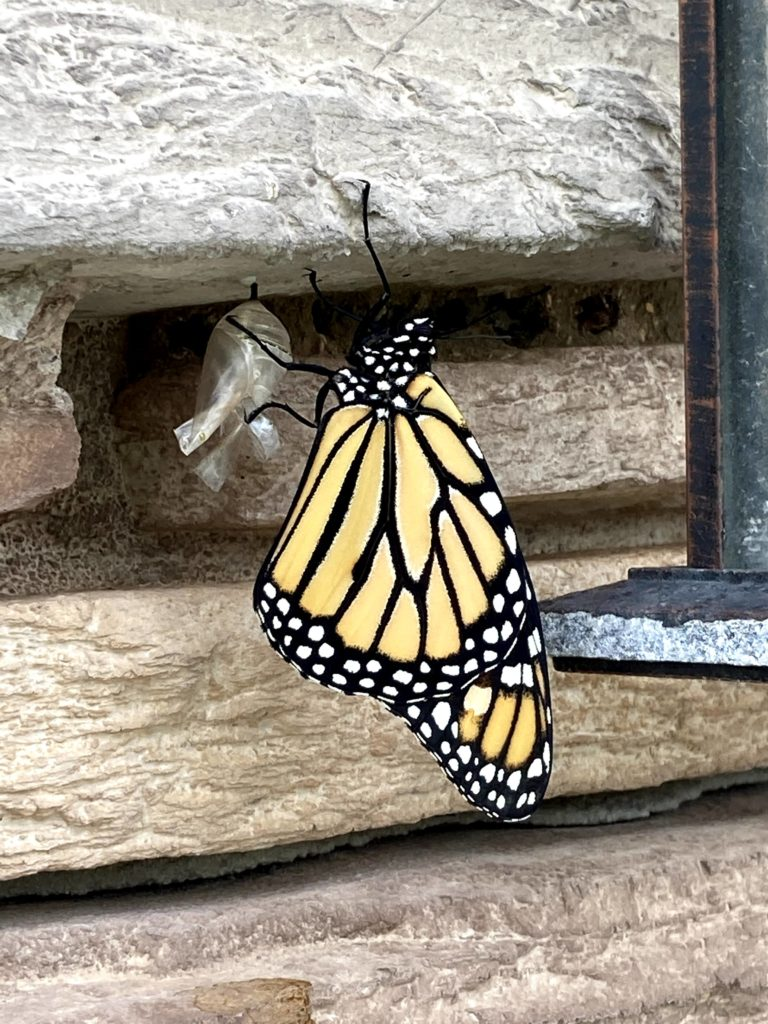 Monarch Butterfly Just Emerged from Chrysalis