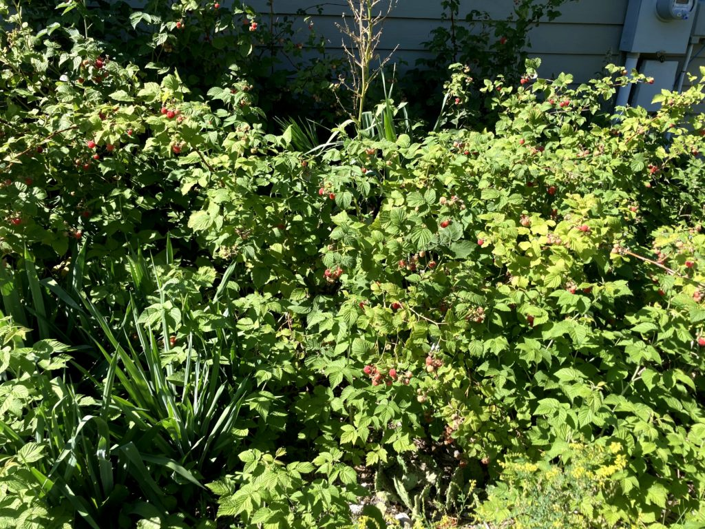 Crazy raspberry patch
