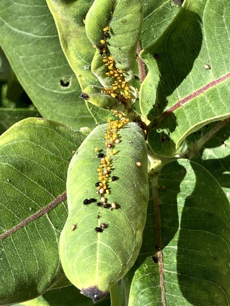 Aphids and life on milkweed