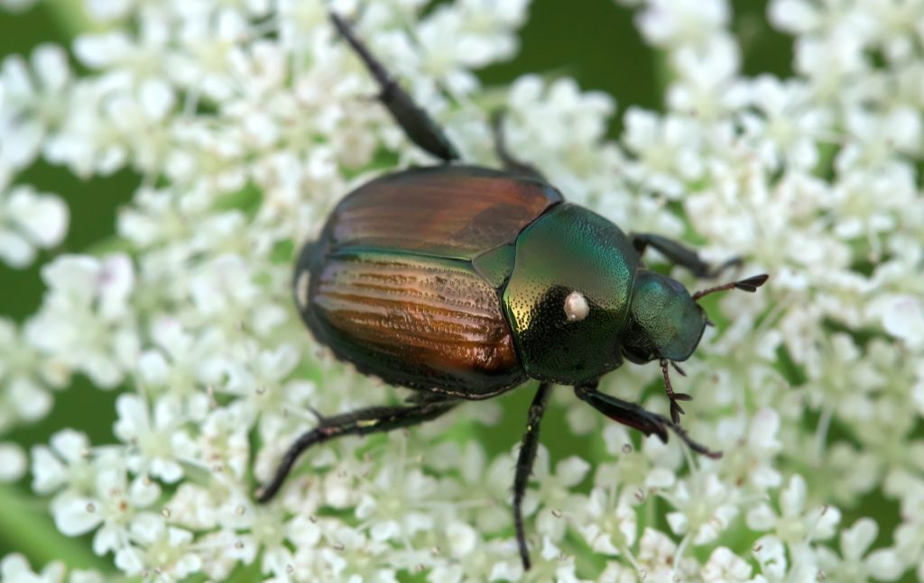 Japanese beetles have many pests, and are even edible