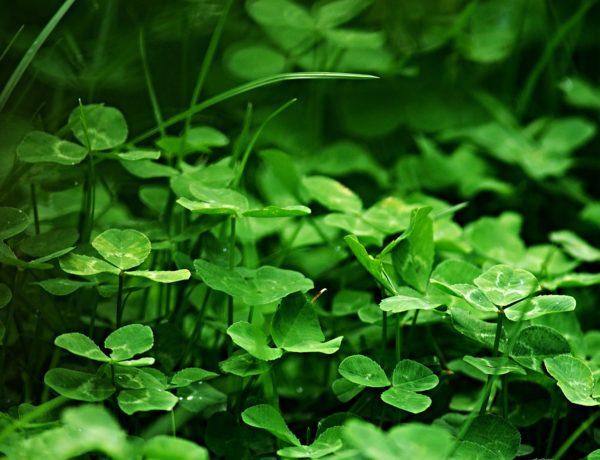 Image of clover lawn by Zdeněk Chalupský on Pixabay