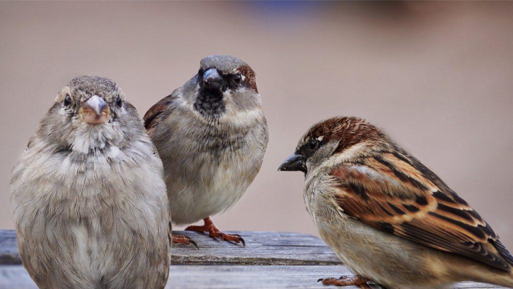 Sparrows eat Japanese Beetles