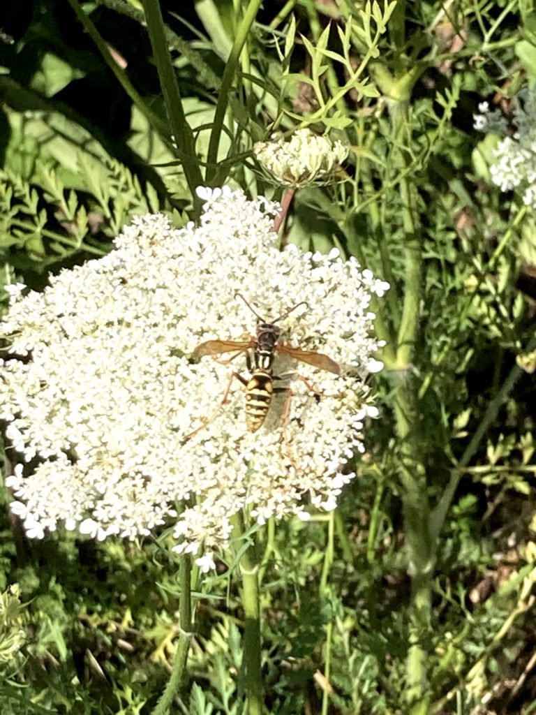 Beneficial wasp on queen anne's lace flower