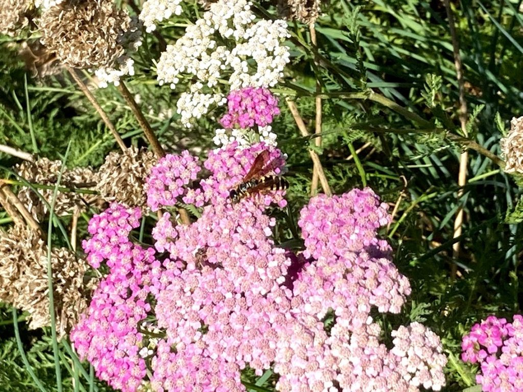 Yarrow is one example of a beneficial insect attractor in a guild