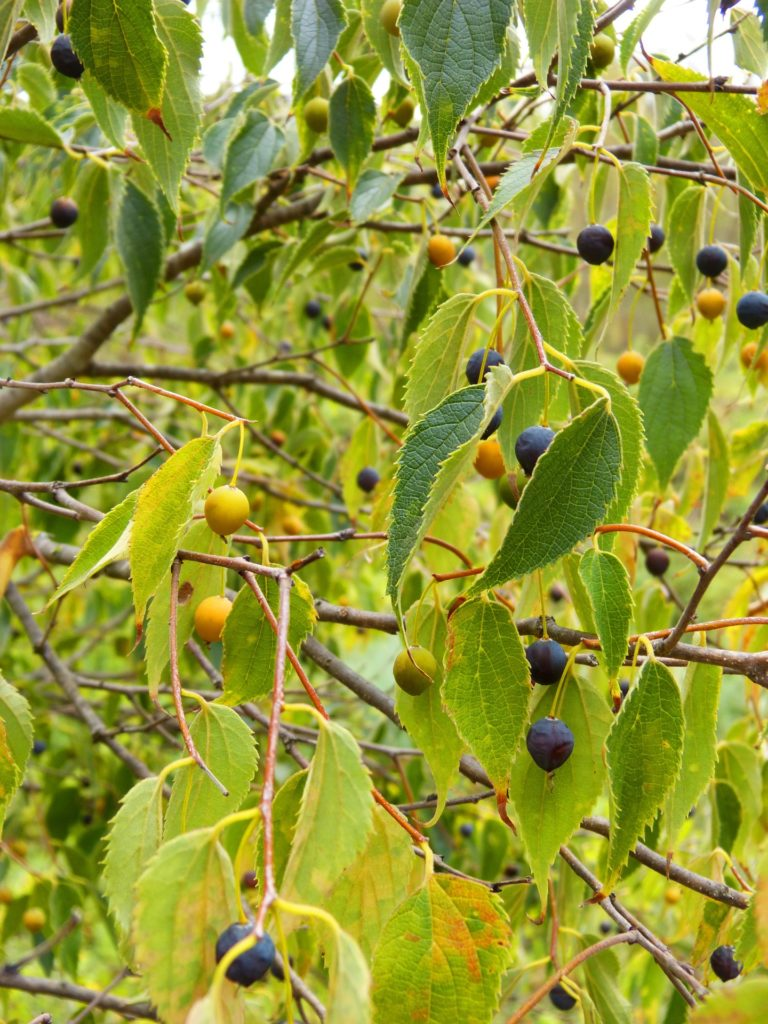 Hackberry trees are a native edible plant that wants to grow